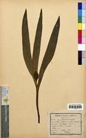 http://bibliotheque-virtuelle.clermont-universite.fr/files/fichiers_bcu/Colchicum_autumnale_CLF094774.jpg