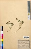 http://bibliotheque-virtuelle.clermont-universite.fr/files/fichiers_bcu/Trifolium_fragiferum_CLF094789.jpg