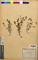 http://bibliotheque-virtuelle.clermont-universite.fr/files/fichiers_bcu/Trifolium_filiforme_CLF094792.jpg