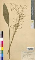 Alisma plantago-aquatica (Alismataceae)