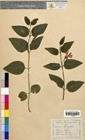 Vinca major (Apocynaceae)