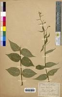 Vincetoxicum officinale (Asclepiadaceae)