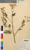 Anthemis nobilis (Asteraceae)