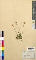 Bellis perennis (Asteraceae)