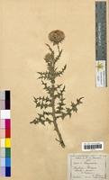 Carduus nutans (Asteraceae)