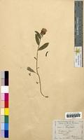 Centaurea jacea (Asteraceae)