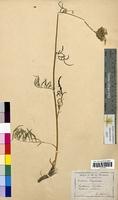 Centaurea scabiosa (Asteraceae)
