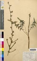 Cichorium intybus (Asteraceae)