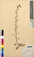 Erigeron acer (Asteraceae)