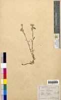 Filago spathulata (Asteraceae)