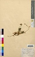 Hieracium pilosella (Asteraceae)