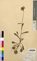 Leucanthemum vulgare (Asteraceae)