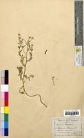 Matricaria chamomilla (Asteraceae)