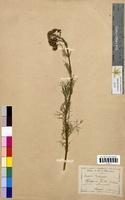 Senecio adonidifolius (Asteraceae)