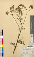 Senecio jacobaea (Asteraceae)