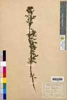 Senecio sylvaticus (Asteraceae)