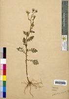 Senecio viscosus (Asteraceae)