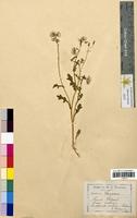 Senecio vulgaris (Asteraceae)