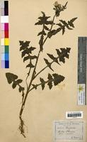 Sonchus oleraceus (Asteraceae)