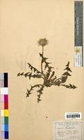 Taraxacum dens-leonis (Asteraceae)