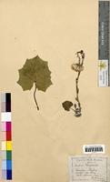 Tussilago farfara (Asteraceae)