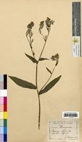 Borago officinalis (Boraginaceae)