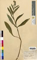 Cynoglossum officinale (Boraginaceae)