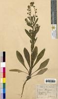 Cynoglossum pictum (Boraginaceae)