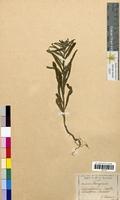 Echinospermum lappula (Boraginaceae)