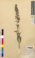 Echium vulgare (Boraginaceae)