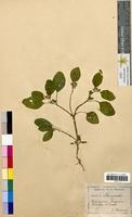 Heliotropium europaeum (Boraginaceae)