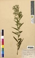 Lithospermum officinale (Boraginaceae)
