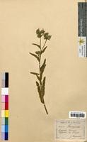Lycopsis arvensis (Boraginaceae)