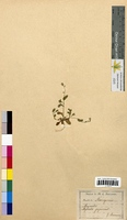 Myosotis sp. (Boraginaceae)