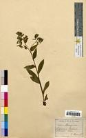 Pulmonaria saccharata (Boraginaceae)