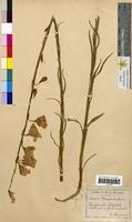 Campanula persicifolia (Campanulaceae)