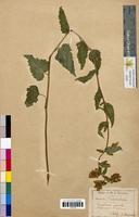 Campanula trachelium (Campanulaceae)