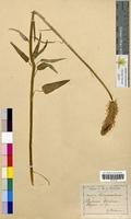 Phyteuma spicatum (Campanulaceae)