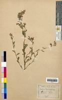 Specularia speculum (Campanulaceae)