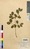 Lonicera xylosteum (Caprifoliaceae)