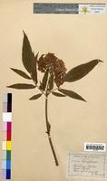 Sambucus ebulus (Caprifoliaceae)