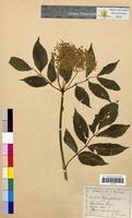 Sambucus nigra (Caprifoliaceae)