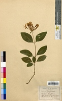Lonicera caprifolium (Caprifoliaceae)
