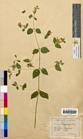 Cucubalus baccifer (Caryophyllaceae)