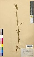Dianthus armeria (Caryophyllaceae)