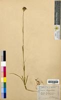 Dianthus carthusianorum (Caryophyllaceae)