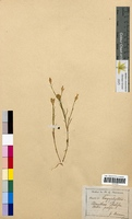 Dianthus prolifer (Caryophyllaceae)