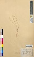 Gypsophila muralis (Caryophyllaceae)