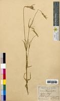 Lychnis githago (Caryophyllaceae)