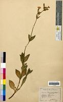 Lychnis vespertina (Caryophyllaceae)